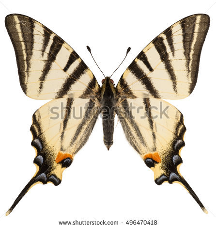 Iphiclides Stock Photos, Royalty.