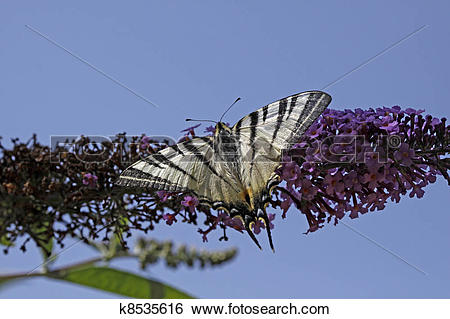 Stock Images of Scarce Swallowzail, Iphiclides k8535616.