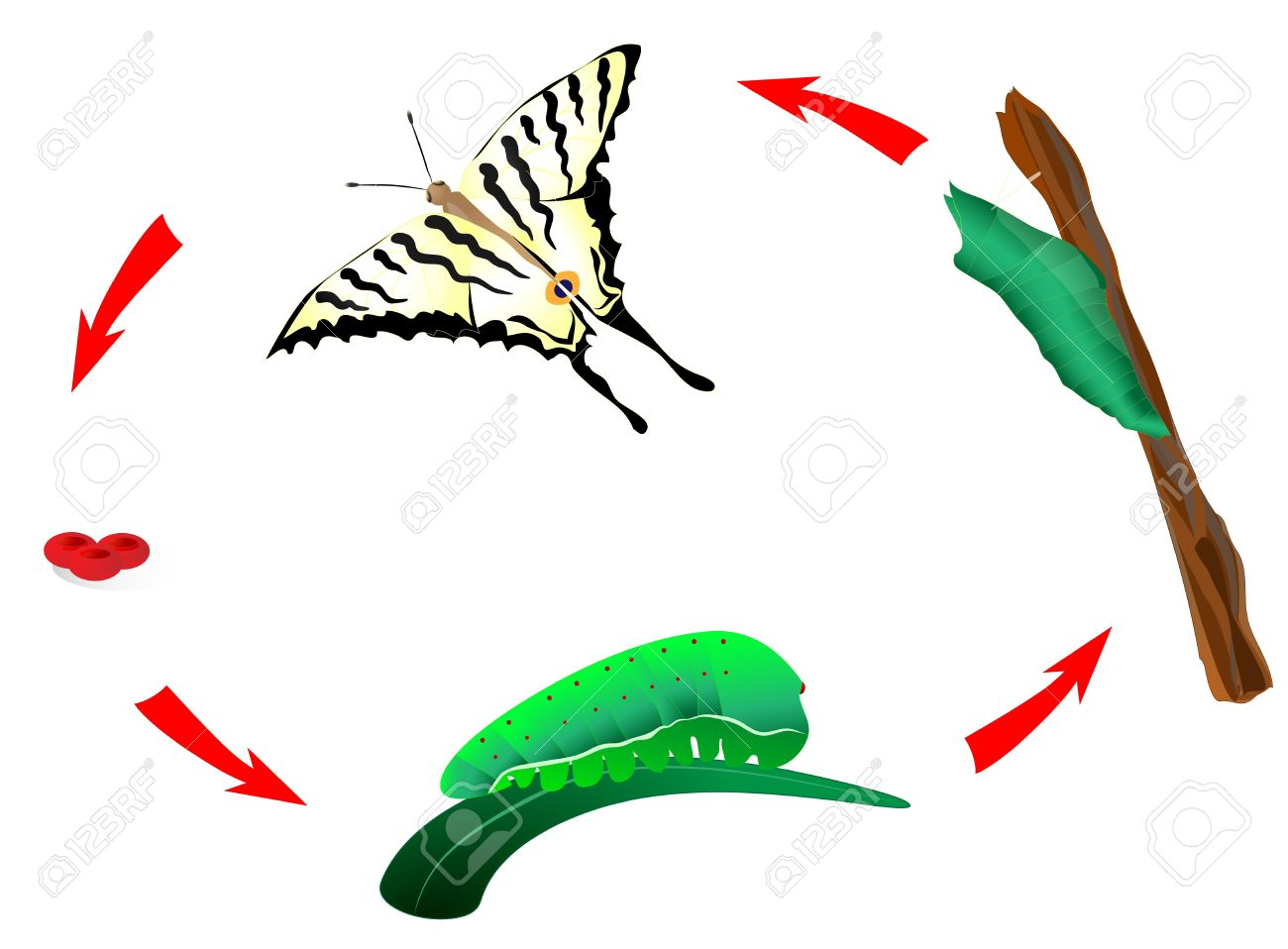 Butterfly Habits Life Cycle From Caterpillar To Butterfly.