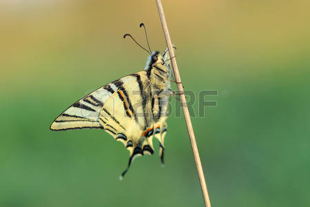 Iphiclides Podalirius Stock Photos, Pictures, Royalty Free.