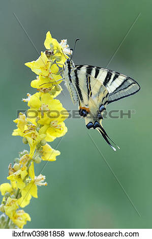 "Pictures of ""Scarce Swallowtail (Iphiclides podalirius) on mullein."