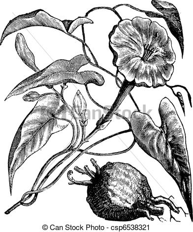 Vector Clip Art of Exogonium purga or Ipomoea jalapa vintage.