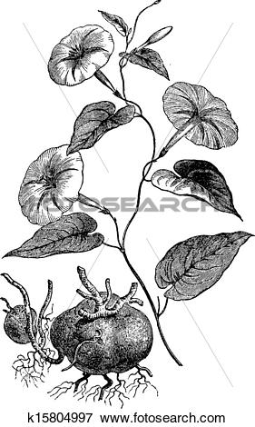 Clip Art of Jalap or Ipomoea purga, vintage engraving k15804997.