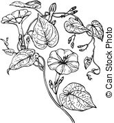 Ipomoea Vector Clipart Royalty Free. 77 Ipomoea clip art vector.