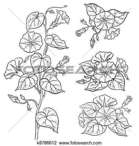 Clip Art of Flowers ipomoea with leaves, contours k8786612.