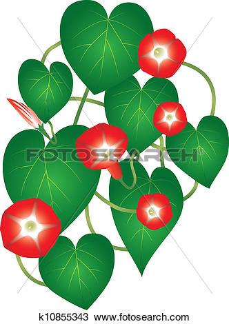 Clipart of Ipomoea red star flower k10855343.