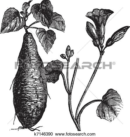Clipart of Sweet Potato or Ipomoea batatas, vintage engraving.
