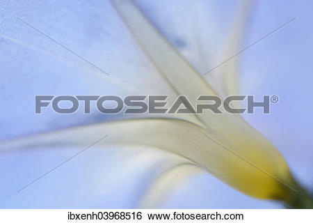 "Stock Images of ""Purple Morning Glory or Common Morning Glory."