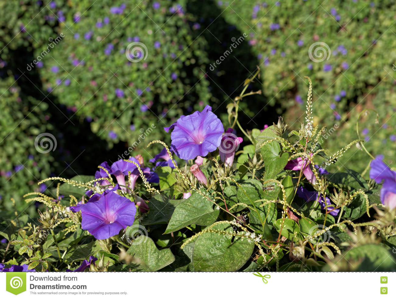 Ipomoea Purpurea Vine With Purple Flowers Stock Photo.