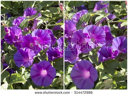 "ipomoea Purpurea"" Stock Photos, Royalty."