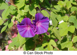 Pictures of Ipomoea purpurea or morning glory flower in nature.