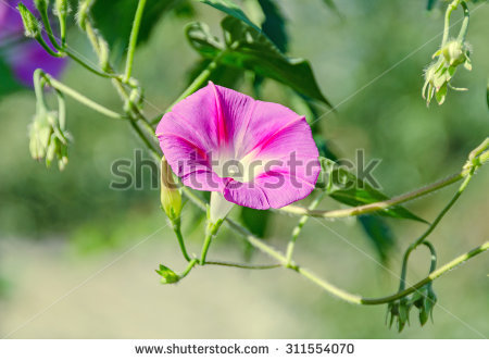 Ipomoea Purpurea Stock Photos, Royalty.