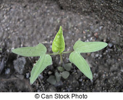 Stock Photography of First, Start leaves of Ipomoea purpurea.