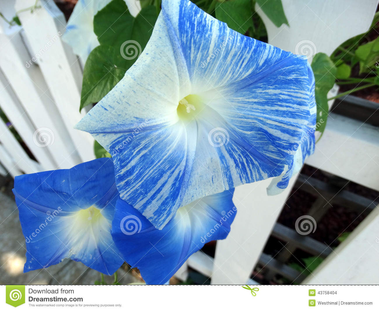 Ipomoea Tricolor 'Flying Saucers' Stock Photo.