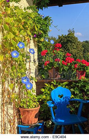 Blue Bindweed Stock Photos & Blue Bindweed Stock Images.