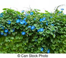Picture of Ipomoea tricolor flower on wooden fence csp35924877.