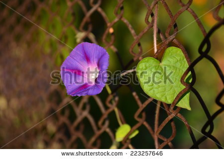 Ipomoea Tricolor Stock Photos, Images, & Pictures.