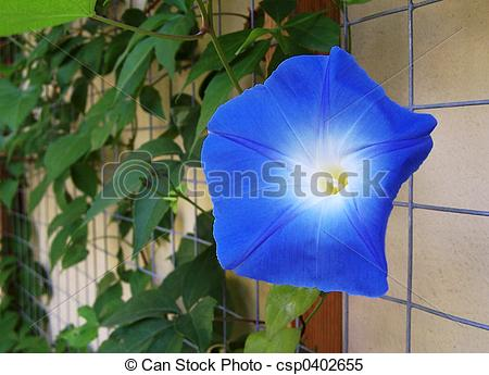 Stock Images of Ipomoea tricolor.