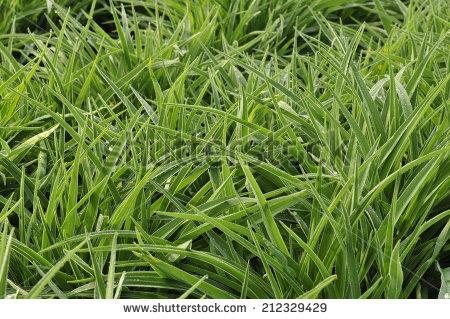 "lavender Bearded Iris"" Stock Photos, Royalty."