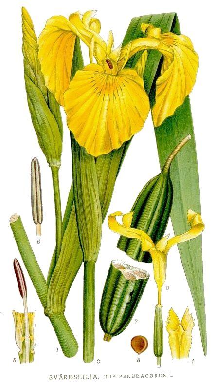 Yellow flag, yellow iris. From Carl Axel Magnus Lindman: Bilder ur.