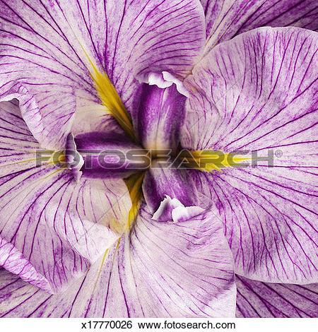 Stock Images of Louisiana iris (Iridaceae sp), detail x17770026.