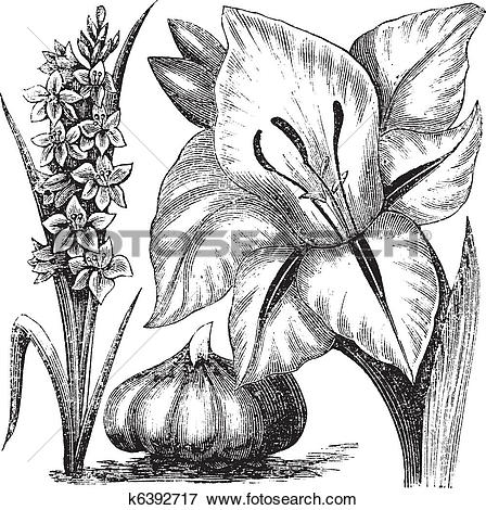 Clip Art of Gladiolus or sword lily vintage engraving k6392717.