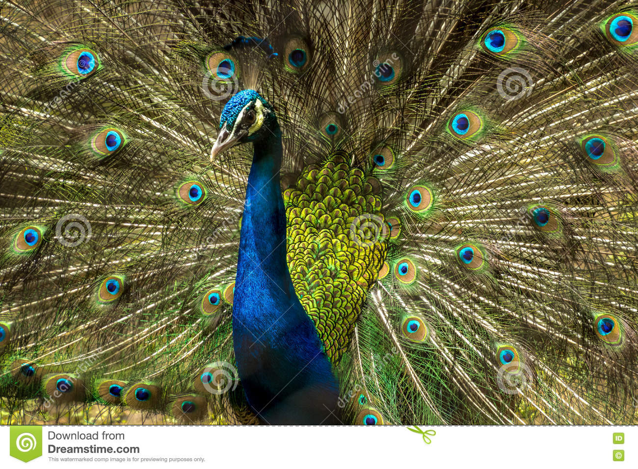 Lovely Indian Peacock Bird With Open Feathers Plumage At Kolkata.