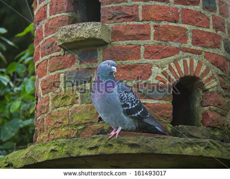 Vector Images, Illustrations and Cliparts: Feral Pigeon on brick.