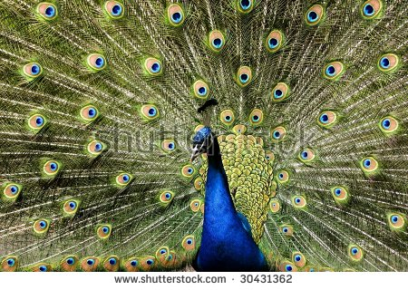 Peacock Feathers Flaunting Its Stock Photos, Royalty.