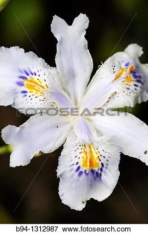 Picture of Flower of ornamental plant, Iris sp. Fam. Iridaceae.