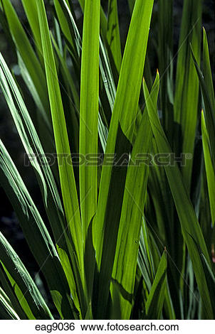 Stock Images of GREEN TRITONIA (Iridaceae Tritonia crocosmiflora.