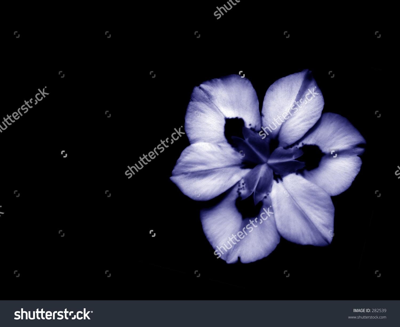 Dietes Bicolor, Iridaceae, African Iris In Blue.