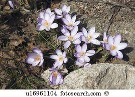 Mountain crocus Stock Photos and Images. 1,332 mountain crocus.