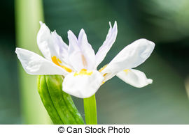 Dietes Images and Stock Photos. 25 Dietes photography and royalty.