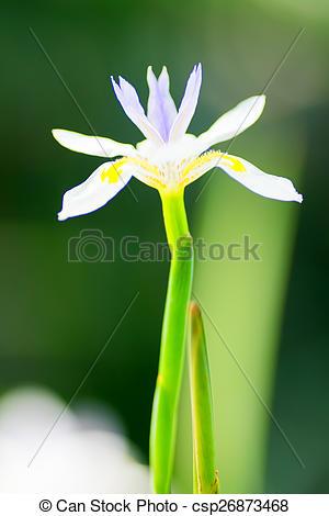 Stock Image of Dietes grandiflora, Iridaceae, South Africa.