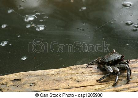 Stock Photography of Mud Crab.
