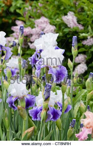 Irises Stock Photos & Irises Stock Images.
