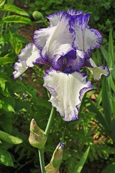 Iris au Ventoux.