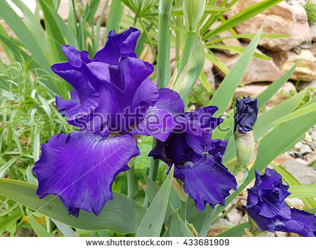Blue Bearded Iris Stock Photos, Royalty.