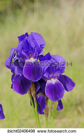 "Pictures of ""Iris (Iris barbata hybrid), garden plant, ornamental."