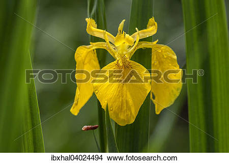 Stock Photo of Yellow Iris (Iris pseudacorus) ibxhal04024494.