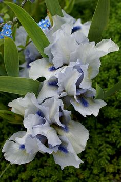 Irises on Pinterest.