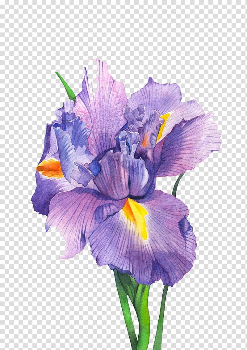 purple iris flower in bloom transparent background PNG.