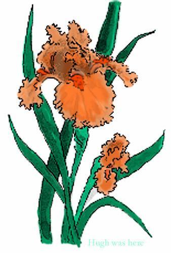 Orange Iris.