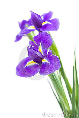 Dark Purple Iris Flower Stock Photos.
