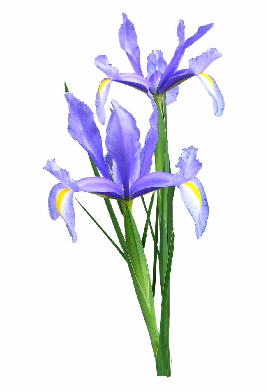 Iris Dutch Flowers.