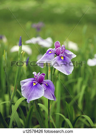 Iris Flower Water Can Clipart.