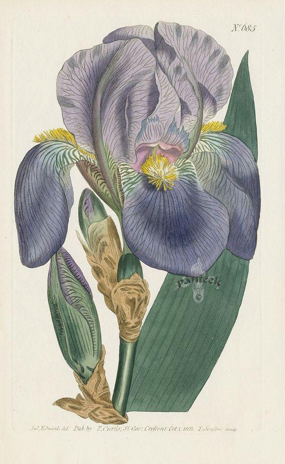 Iris Pallida. Pale Flag. from William Curtis Flowers, Hydrangea.