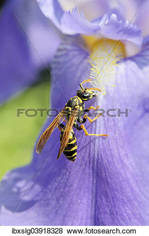"Pictures of ""Wasp (Vespula sp.) collecting nectar on a blossom."