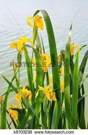 Pictures of Yellow iris (Iris pseudacorus) k6703238.